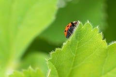 Ladybird rosso, coccinella che striscia sulla foglia verde del ribes nel g Fotografia Stock Libera da Diritti