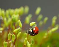 Ladybird s'accrochent sur le sporophyte de mousse Images stock
