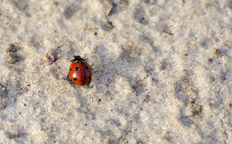 Ladybird on the sand. Red ladydird. Six years old Royalty Free Stock Photos