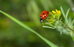 Ladybird in search of plant-louse on the wild flower Stock Images