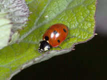 The ladybird searches Aphid Royalty Free Stock Photo