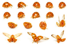 ladybird serii obrazy royalty free