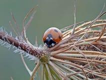 Ladybird Seven-spoted Стоковое Изображение