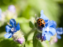 A ladybird shell on top of some small blue flowers outside forge. T me nots in spring day light meadow bugs Stock Image