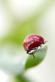 Ladybird sit on grass Royalty Free Stock Image
