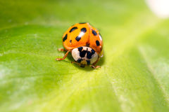 The Ladybird sits on a colored leaf. Macro photo of ladybug close-up. Stock Photos