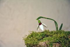 Ladybird  sits on a snowdrop  Galanthus   before bright background Royalty Free Stock Images