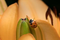 A ladybird sitting on the blossom of a tiger lily stock photography
