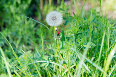 Ladybird sitting on a dandelion in the grass. Stock Images