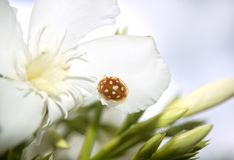 Ladybird sitting on a Flower Royalty Free Stock Image