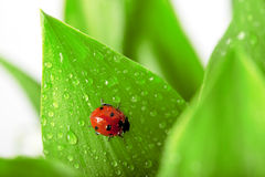Ladybird sitting on a leaf with drops of water Royalty Free Stock Image