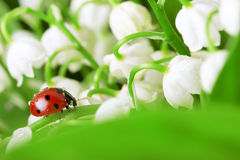 Ladybird sitting on a leaf with drops of water Royalty Free Stock Photography
