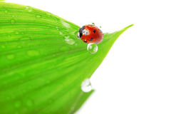 Ladybird Sitting On A Leaf With Drops Of Water Royalty Free Stock Photos