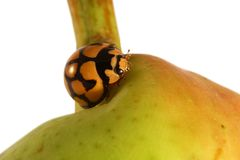 Ladybird sitting on pear Royalty Free Stock Photos