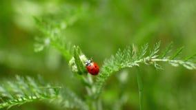 Ladybird skrada się wzdłuż ostrza trawa łąka zdjęcie wideo
