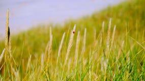 Ladybird. Small ladybird on gras of danish dunes Royalty Free Stock Photos