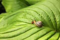 Ladybird and snail. Ladybird and a snail amicably creep on green sheet Stock Image