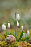 Ladybird on snail shell with snowdrops. In background Royalty Free Stock Images