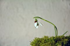 Ladybird on a snowdrop  Galanthus   before bright background Royalty Free Stock Photos
