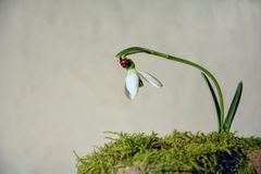 Ladybird  on a snowdrop  Galanthus   before bright background Royalty Free Stock Images