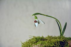 Ladybird  on a snowdrop  Galanthus   before bright background Stock Images
