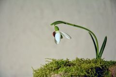 Ladybird  on a snowdrop  Galanthus   before bright background Stock Image