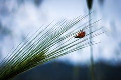Ladybird sottosopra su una punta Fotografia Stock