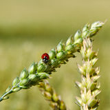 Ladybird on the spike. Royalty Free Stock Images