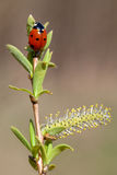 Ladybird and spring Stock Photography
