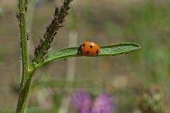 Ladybird sta preparando il pranzo Immagine Stock