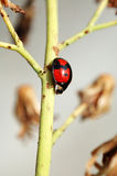 Ladybird and stalk. A ladybird walking downwards on a stalk Stock Photo