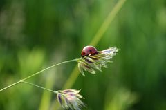 Ladybird on a stalk of grass Royalty Free Stock Photography