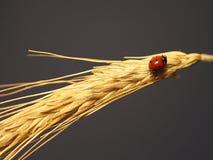 Ladybird on a stalk of wheat Stock Image
