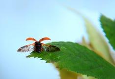 Ladybird starting a flight. Stock Photos