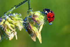 Ladybird on a stem Royalty Free Stock Images
