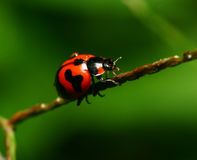 Ladybird on sticks Stock Images