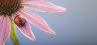 Ladybird striscia sul gambo della pianta, coccinella rossa sul flowe dell'echinacea Immagini Stock