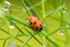 Ladybird su finocchio con le gocce di rugiada immagini stock