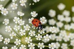 Ladybird su un fiore bianco Fotografie Stock Libere da Diritti