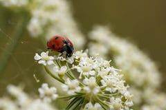 Ladybird su un fiore bianco Fotografia Stock