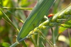 Ladybird su un Grano-orecchio fotografie stock