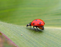 Ladybird su una foglia Immagini Stock Libere da Diritti