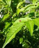 Ladybird su una foglia Immagine Stock Libera da Diritti