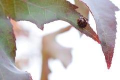 Ladybird su una foglia al parco di unico nato, Swansea, Regno Unito Fotografie Stock