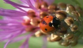 Ladybird sul fiore del cardo selvatico Fotografia Stock Libera da Diritti
