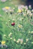 Ladybird sul gambo Immagine Stock