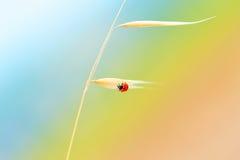 Ladybird sul gambo del grano Fotografia Stock Libera da Diritti