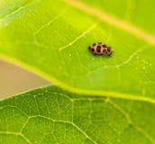 Ladybird sul Milkweed Fotografia Stock Libera da Diritti