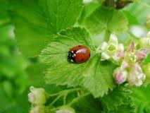 Ladybird sulla fioritura delle foglie verdi Fotografia Stock