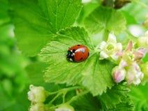Ladybird sulla fioritura delle foglie verdi Immagine Stock Libera da Diritti